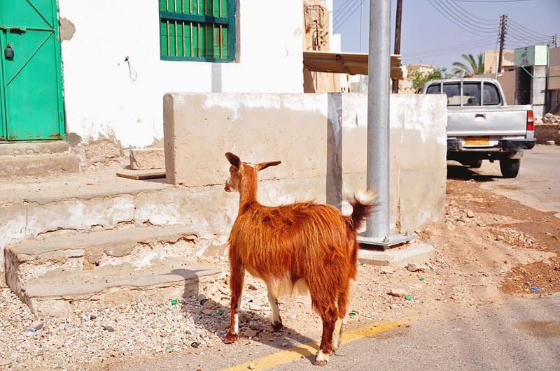 koza w Omanie