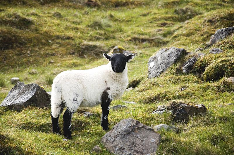 owca na Old Man of Storr