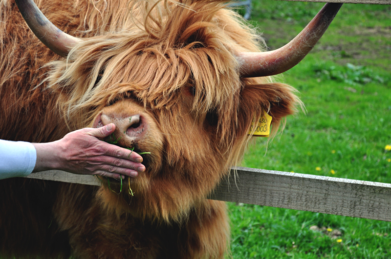szkocka krowa
