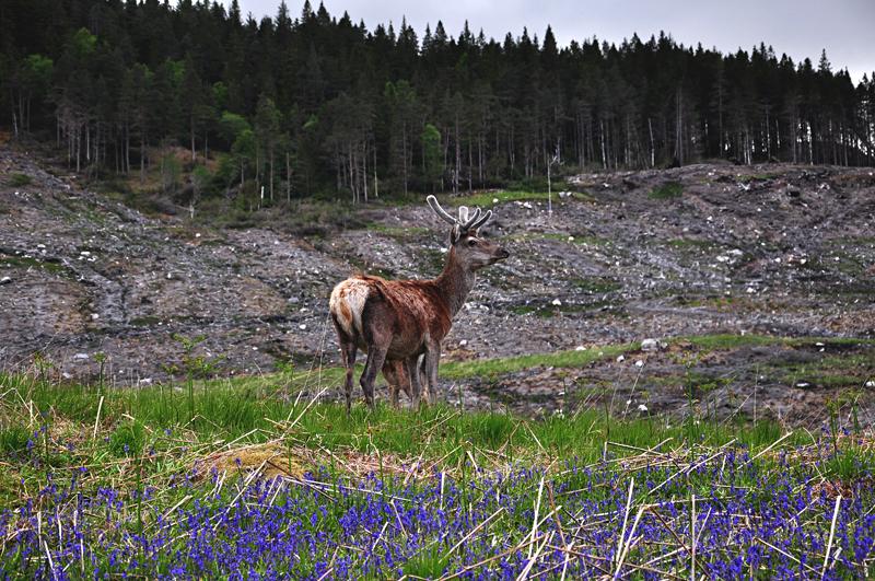 Jeleń w Szkocji