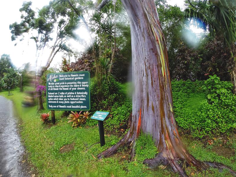 eukaliptusy tęczowe Maui