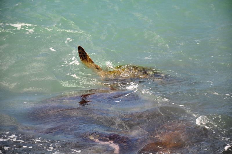 żółwie na Maui