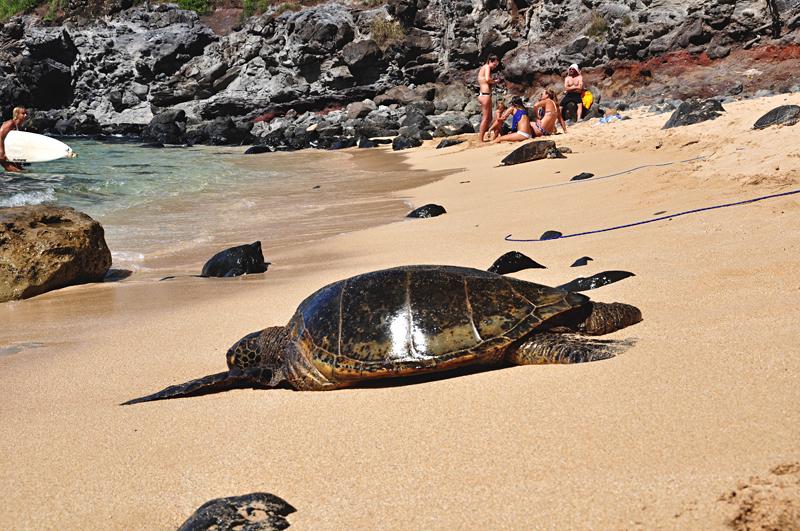 żółwie na Hawajach