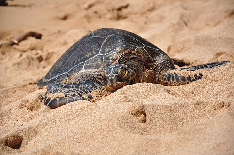 Hawaje żółwie