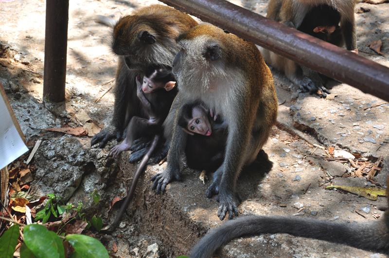 zwierzęta na Langkawi