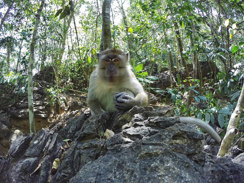 Langkawi małpa