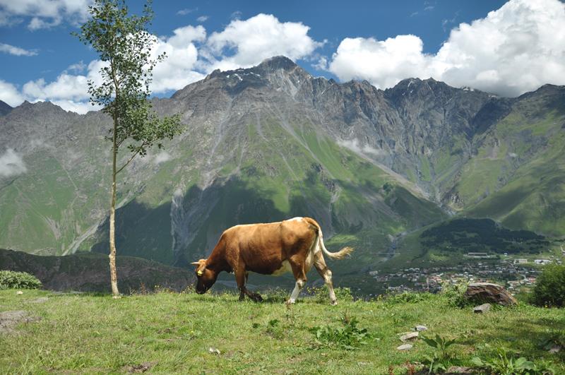 krowa przy Cminda Sameba