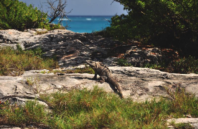 Jaszczurka Jukatan