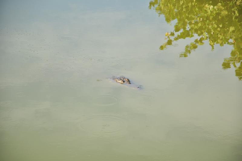 aligator na Cozumelu