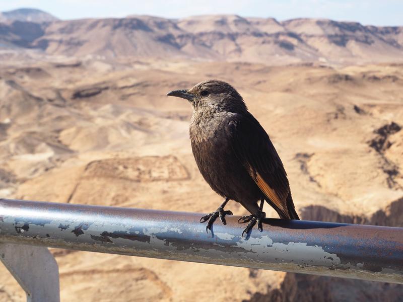 Ptak na Pustyni Negew