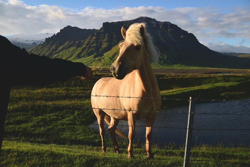 Islandia koń